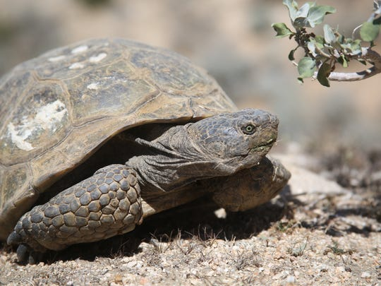 Some environmentalists say the Palen solar project would harm desert tortoises.