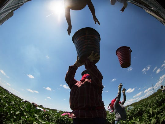 Farm workers from Immokalee including, Teresa Morales harvest green peppers from Oakes Farms.
