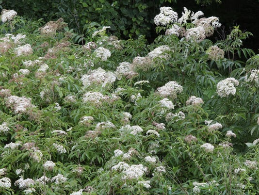 From the Ground Up: Elderberry