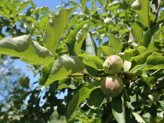 Apples at Stuart's Fruit Farm.