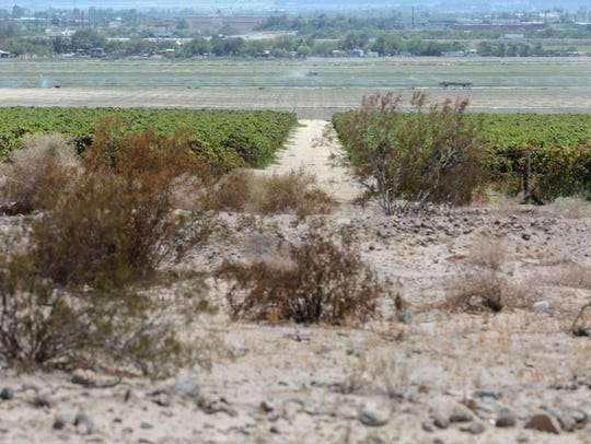 A vineyard spreads out next to the desert in Coachella.