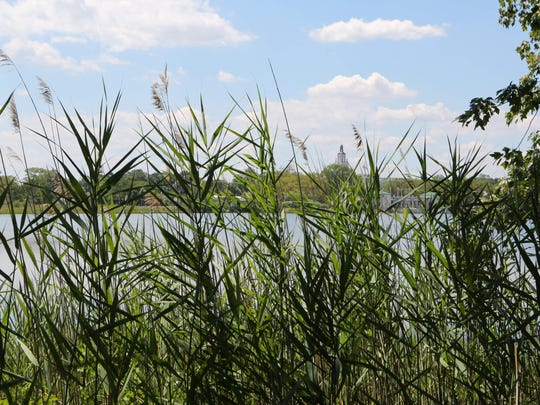 Phragmites, an invasive tall reed is growing all around the Edith G. Read Sanctuary in Rye, as seen July 27, 2016.