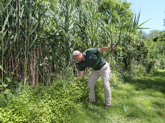 Michael Gambino, the curator at the Edith G. Read Sanctuary in Rye, pulls up a phragmites, an invasive tall reed that is growing all around the property, as seen July 27, 2016.