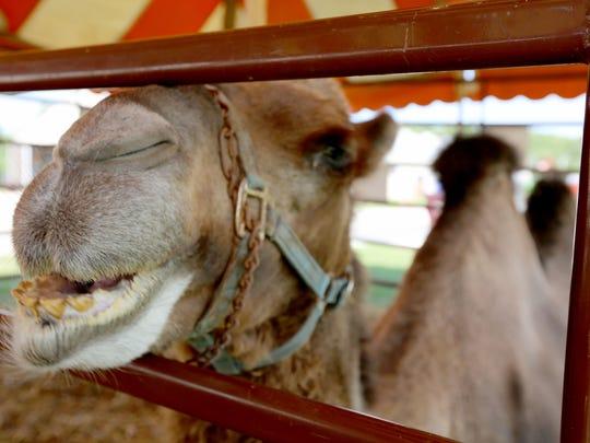 A camel greets visitors at the Manitowoc County Fair Thursday.