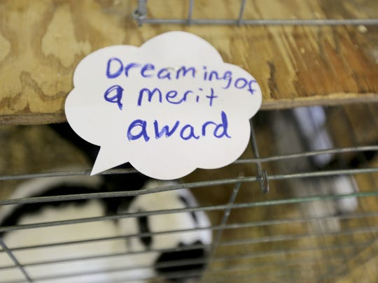 """A rabbit """"dreaming of a merit award"""" during the Manitowoc County Fair Thursday. The fair's theme is """"Blue Jeans n' Country Dreams,"""" and it runs through Sunday at the Exop grounds."""