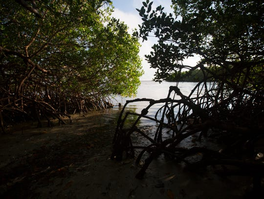 Red Mangroves are vitally important to the health of