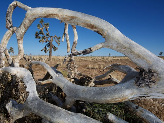 A dead Joshua tree frames another that has lost a number