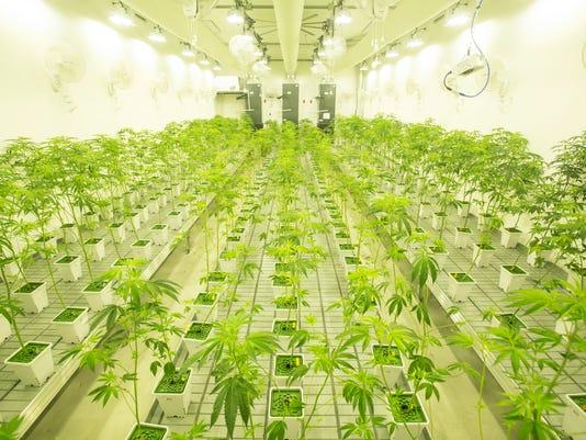 636107760361360049-Main-Marijuana-6182.JPG