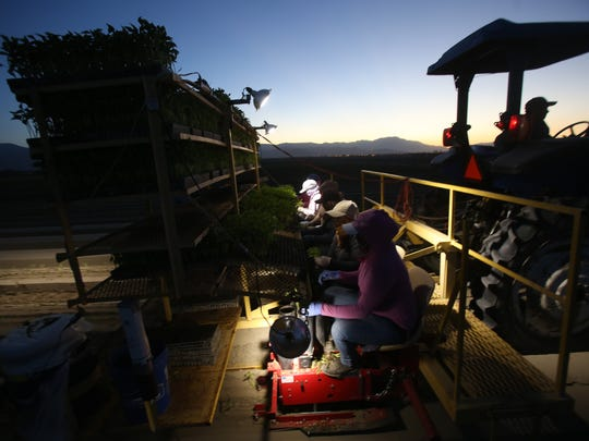 Agricultural workers work during a sunset on a chile field in Thermal. The only light available comes from a tractor that leads the work.