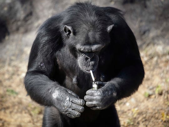 """Azalea, whose Korean name is """"Dallae"""", a 19-year-old female chimpanzee, lights a cigarette at the Central Zoo in Pyongyang, North Korea on Wednesday, Oct. 19, 2016. According to officials at the newly renovated zoo, which has become a favorite leisure spot in the North Korean capital since it was re-opened in July, the chimpanzee smokes about a pack a day. They insist, however, that she doesn't inhale."""