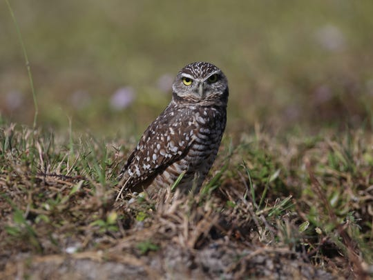 Several dead Burrowing owls were found at their nests
