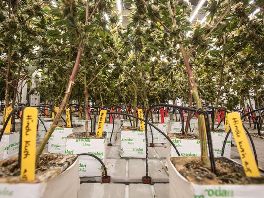 Flowering marijuana plants grow at the MedMen cultivation facility in Sun Valley near Los Angeles, on Tuesday, November 15, 2016. The plants grow in coconut fiber and drip irrigation provides the water and nutrients.