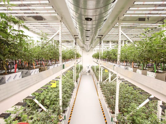 Marijuana plants grow under LED lights at the MedMen cultivation facility in Sun Valley near Los Angeles, on Tuesday, November 15, 2016. Plants grow to size for 3 to 4 weeks before being moved to the flower room.