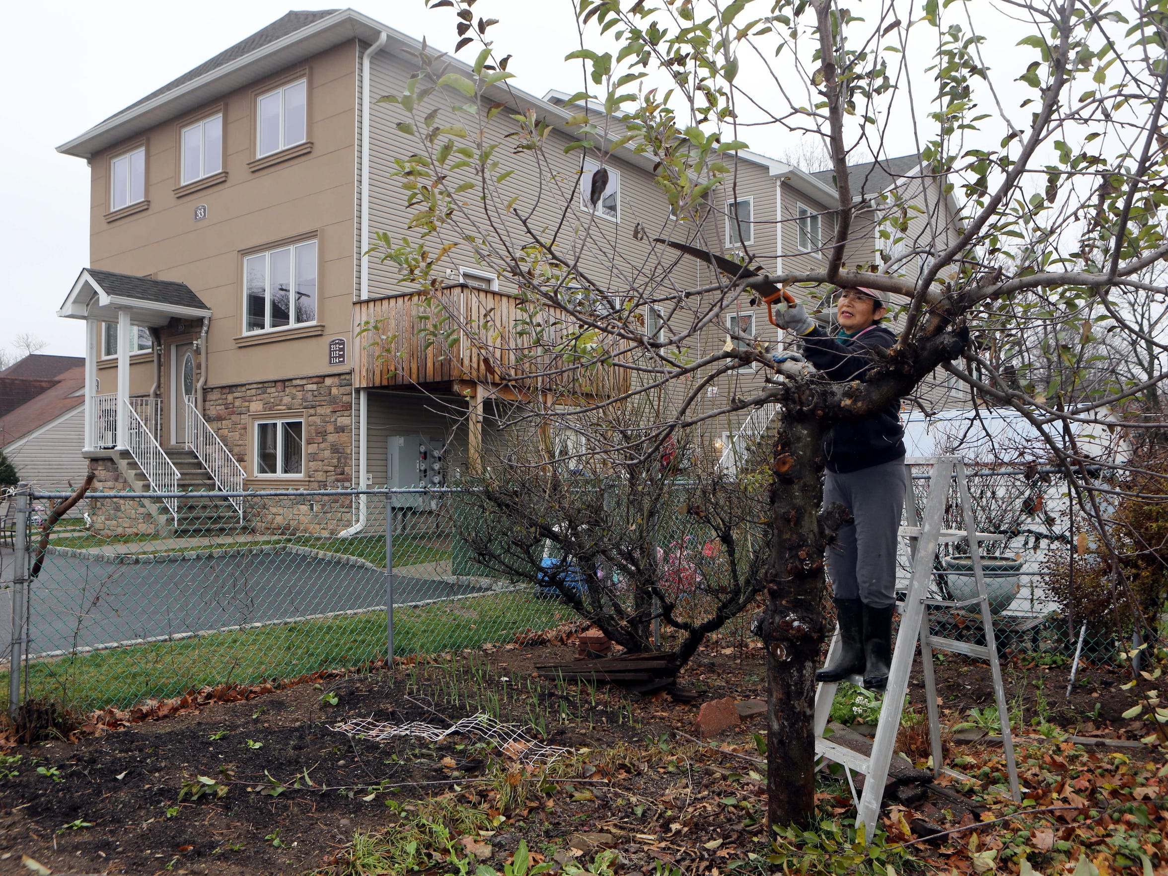 Emiko Mizoi prunes an apple tree in her Herrick Avenue