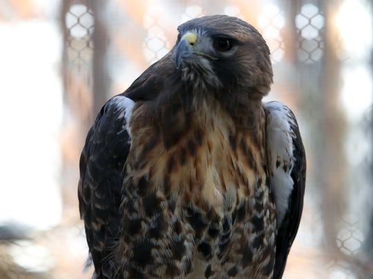 Horatio, a red-tailed hawk, sits inside its enclosure at the Conservancy of Southwest Florida on Jan. 17, 2017. The hawk is just one of the many animals volunteer Tim Thompson rescues on a regular basis.