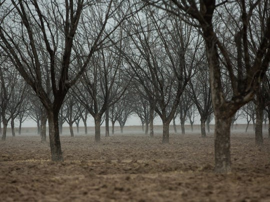 The Pecan Harvest is winding down. Pictured here are pecan trees off of Highway 28 and Addington Road, Wednesday, January 18, 2017.