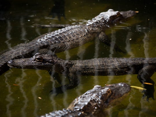 With a little bit of coaxing from employees, 37 alligators are transferred into their new pen at the Everglades Wonder Gardens on Wednesday, Jan. 25, 2017, in Bonita Springs. The nonprofit animal sanctuary recently received a $20,000 grant from the Bonita Springs Community Fund.
