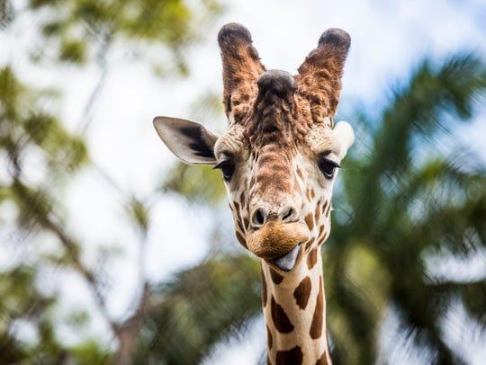 A giraffe at the Naples Zoo on Thursday, Feb. 23, 2017.
