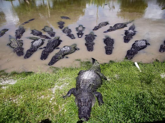 Alligators wait to be fed at Wooten's Everglades Airboat