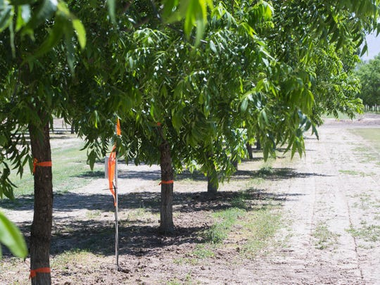 A Phytech dendrometer, set up by SCALE Ag Services, is pictured here in on of the pecan orchards owned by Frank Paul Salopek and Sons Farms. The hardware helps monitor the micro-variations of trunk radius within there microns, helping farmers gauge water usage in orchards. Wednesday May 24, 2017.