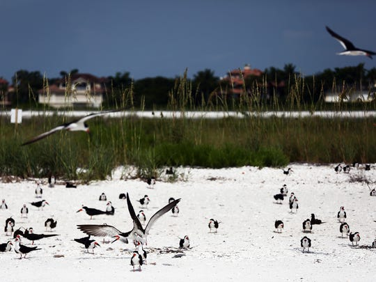 A mixed colony of Black Skimmers and Least Tern nest in the sand at Tigertail Beach Park in Marco Island on Monday, June 13, 2016.