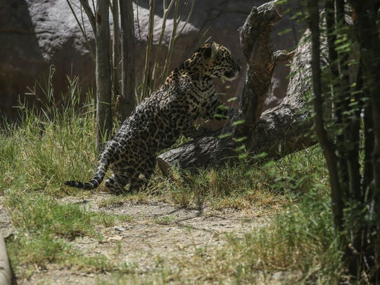 A baby leopard plays  at The Living Desert on Thursday,