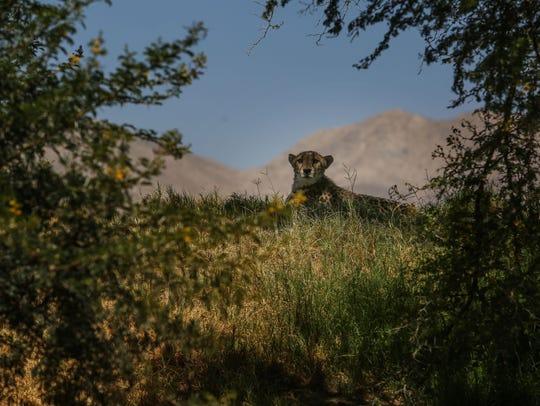 A cheetah is seen at The Living Desert on Thursday,