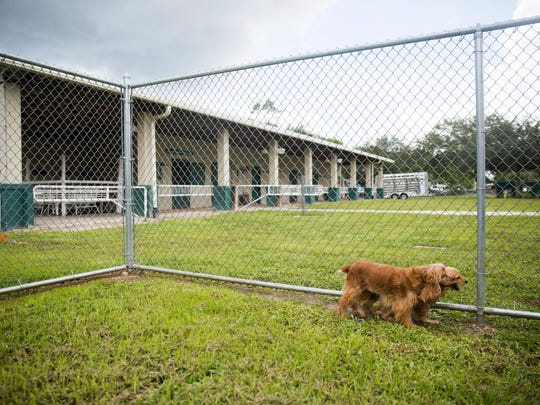 Two cocker spaniels walk the perimeter of the play area on Thursday, June 29, 2017, at the Collier County Domestic Animal Services shelter in East Naples. Fifty-one dogs were rescued from a home in Golden Gate Estates. The shelter is accepting applications for adoption until 10 a.m. Saturday.