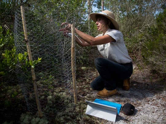 Marlene Rodak, a member and volunteer of the Coccoloba chapter of the Florida Native Plant Society, opens a protective enclosure to observe and measure the growth of a Curtiss' milkweed in a place secret to the public in Lee County on July 13, 2017. Due to habitat loss, the Curtiss' milkweed is an endangered native plant that is under close observation to preserve the species.