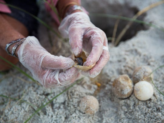 Maura Kraus opens the eggs that did not hatch to record how much the turtles had developed on Saturday, July 15, 2017 along the beach in Downtown Naples.