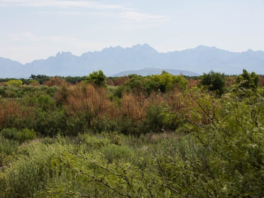 The Organ Mountains can be seen from the Upland Trail at the Mesilla Valley Bosque State Park. Friday Aug. 4, 2017. The state could soon tranfer management of the park to the New Mexico Department of Game and Fish. The transition would begin the fall of 2017.
