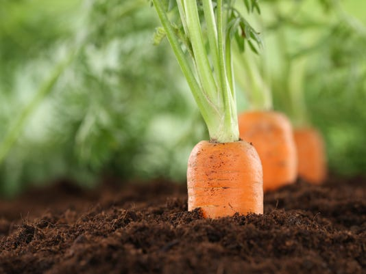 Healthy eating carrots in vegetable garden