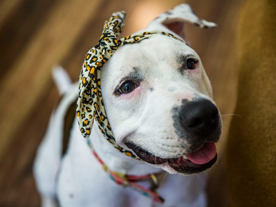 Abigail the pit bull in her Fort Myers home on Tuesday,