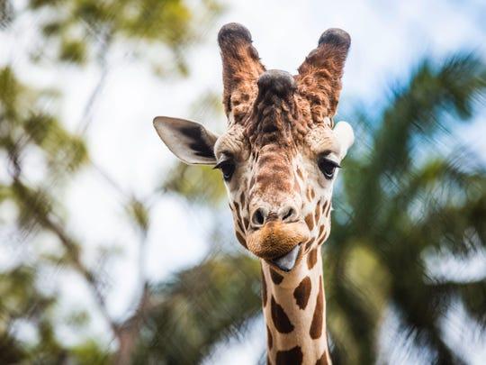 A giraffe at the Naples Zoo.