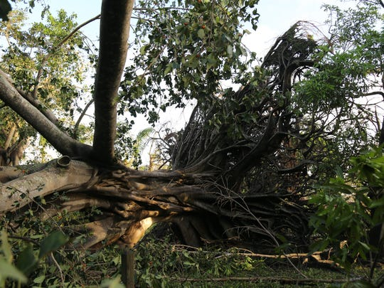 Downed trees and debris at the Edison & Ford Winter Estates could be seen on Monday morning following Hurricane Irma.