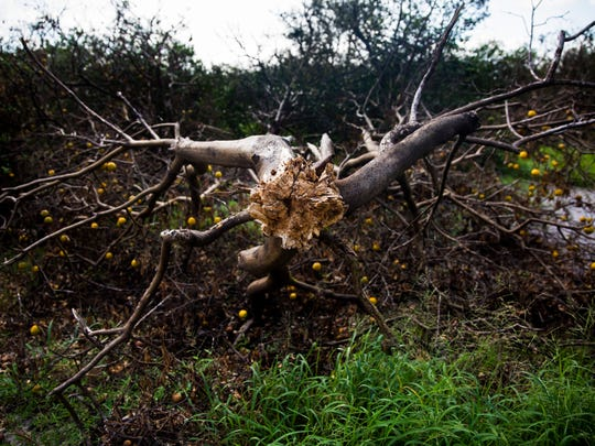 An overturned citrus tree at one of Paul Meador's valencia groves near Immokalee on Thursday, Sept. 28, 2017. Hurricane Irma destroyed nearly 22,000 of Meador's 78,000 trees in the grove.