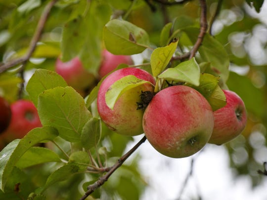 Apple trees of many varieties are ripe for picking