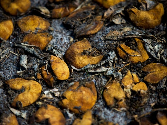 Rotten oranges cover the ground at a Valencia grove. Hurricane Irma battered fields and groves across Florida, destroying an estimated 70 percent of the state's orange crop.