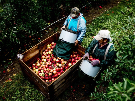 "Adela Hernandez, 39, slowly releases her bushel of apples as Juan Gonzalez, 44, carries his bushel to the bin at Steffens Orchard and Market, LLC in Sparta, Mich. on Oct. 6, 2017.  ""Not only are they fast, but they can pick fast and pick delicately,"" said Rob Steffens, fourth-generation owner of Steffens Orchard and Market."