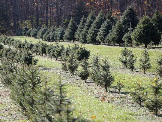 The Saltsman Christmas Tree Farm in Rhinebeck on  Nov.