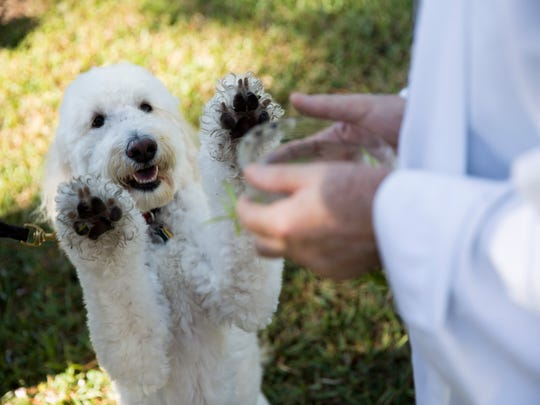 Libby the Goldendoodle playfully interacts with Father Bill Faupel a she is blessed outside of St. PaulÕs Episcopal Church Saturday, Nov. 25, 2017 in Naples.