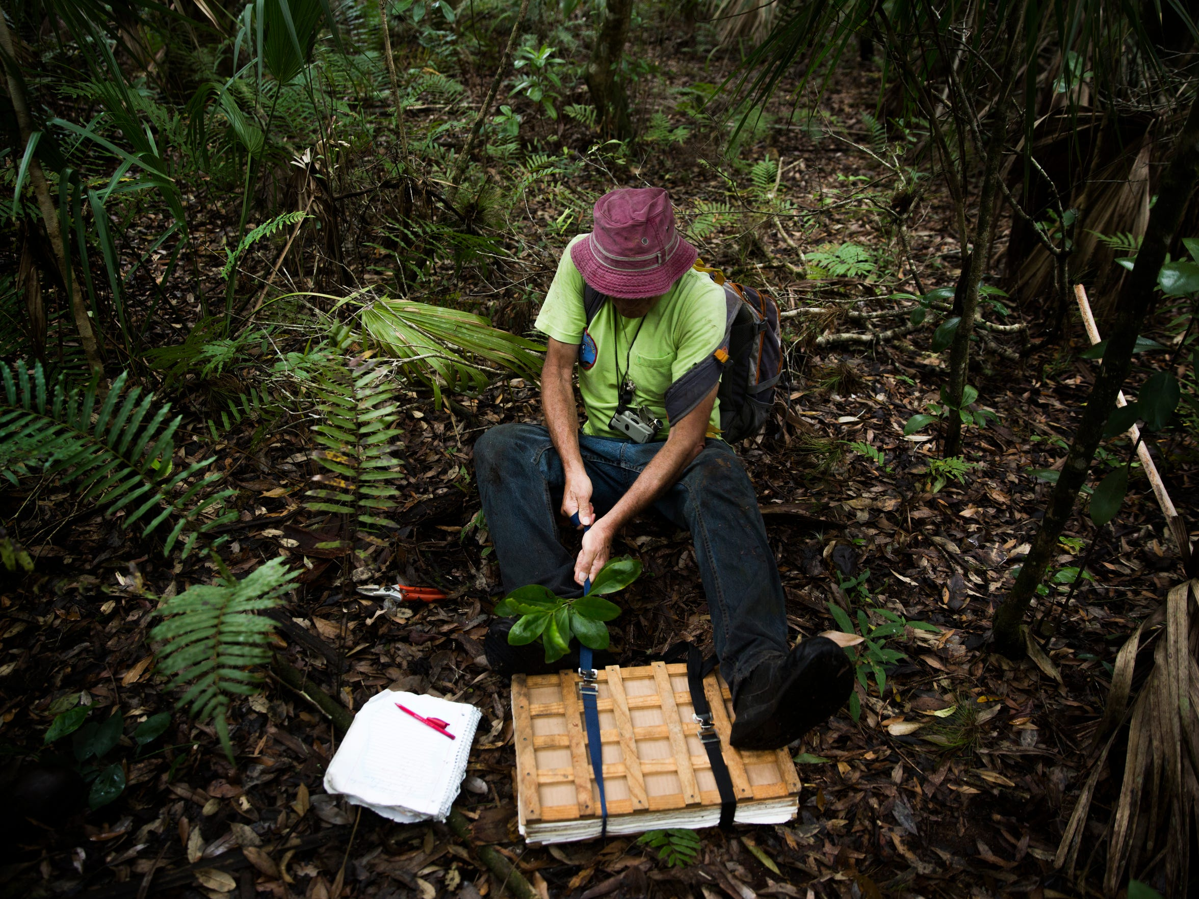 George Wilder uses his entire body to close the ratchet straps on one of his plant presses on Friday, May 5, 2017, at Corkscrew Swamp Sanctuary in Golden Gate Estates. Wilder collects specimens when working in the field and brings them back to his herbarium at the Naples Botanical Garden. His herbarium currently contains 40,229 specimens.