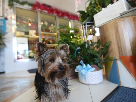Sydney, the official guard and greeter of Heaven Scent Flowers, regularly wanders the front lobby and the back production tables, dodging dropped petals and garnering attention wherever she goes.