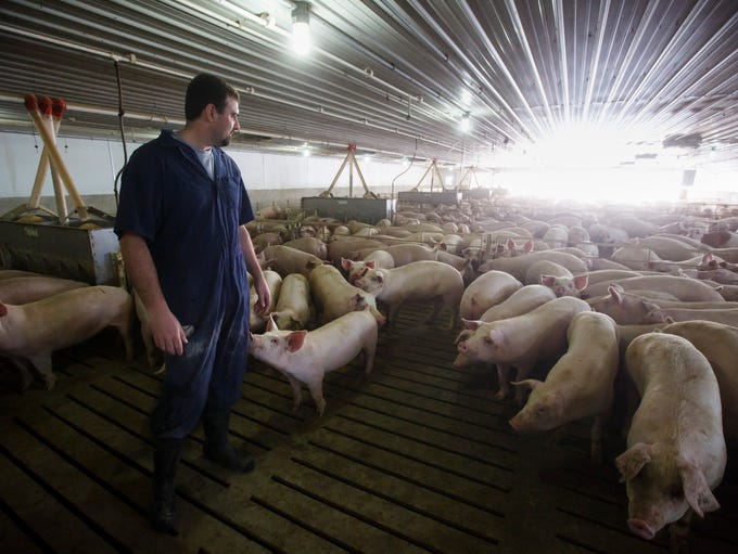 Pig farmer Trent Thiele works with pigs at a 2400 head
