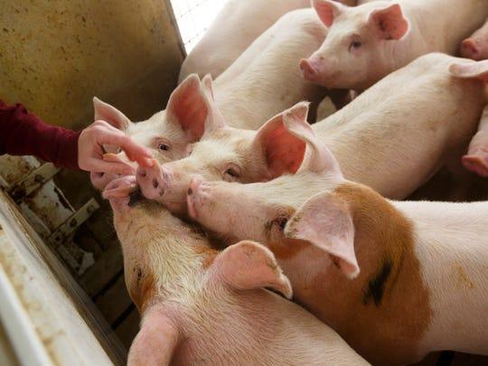 Pigs fill a concentrated animal feeding operation near Elma, Iowa on Feb. 21, 2018.