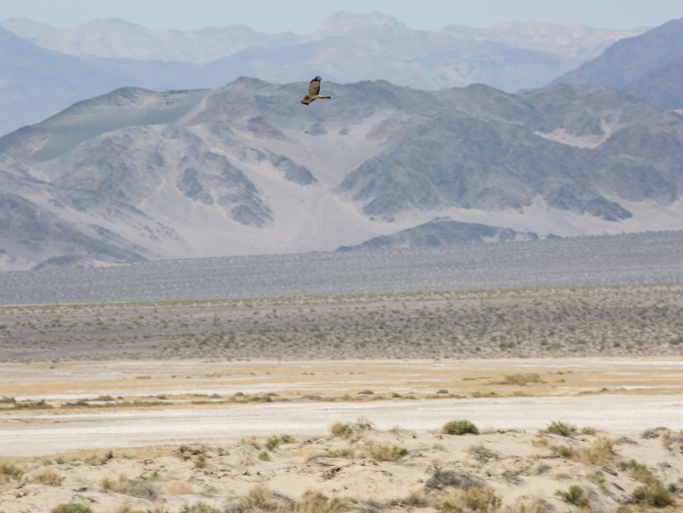 A bird of prey flies near Saratoga Springs, an oasis at the southern end of Death Valley National Park in California.