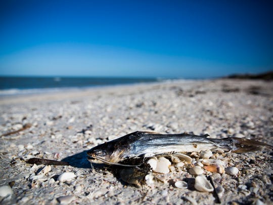 Dead marine life lines the shore on Tuesday, April 17, 2018 at Barefoot Beach Preserve County Park.