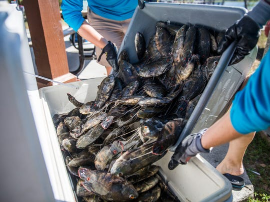 More that 150 pounds of oscars are dumped into a cooler after they are weighed at the end of Southwest Florida CISMA's Non-Native Fish Round-Up at Sugden Park on Saturday, April 28, 2018.