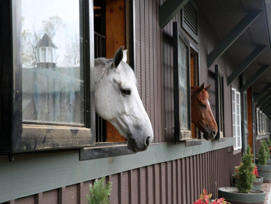 Horses look out the windows from their stalls in the