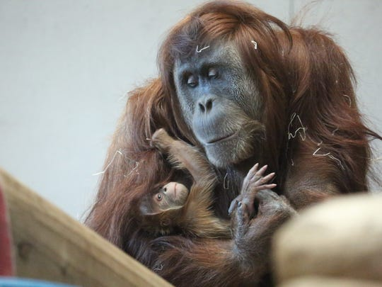 Cerah, a critically endangered Sumatran orangutan, is pictured in this file photo from the Denver Zoo.
